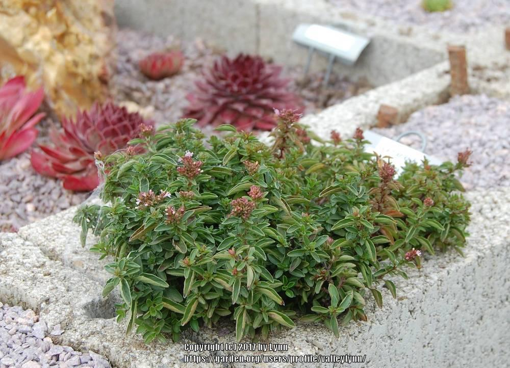 Photo of Greek Oregano (Origanum vulgare subsp. hirtum) uploaded by valleylynn