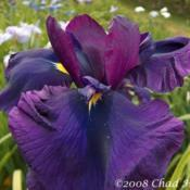 Location: Washougal, WADate: 2008Photo courtesy of Mt. Pleasant Iris Farm, posted with permission