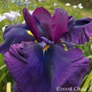 Photo courtesy of Mt. Pleasant Iris Farm, posted with permission