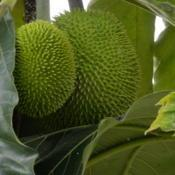 Location: Sumatera IndonesiaDate: 2017-09-26Fruit similar to artocarpus altilis in size and colour,