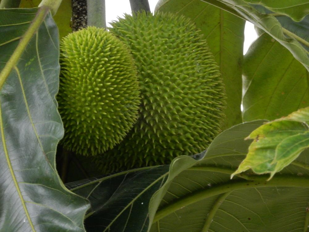 Photo of Artocarpus camansi uploaded by tofitropic