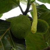 Location: Sumatera IndonesiaDate: 2017-09-26Young globular fruit and cylindrical male flower