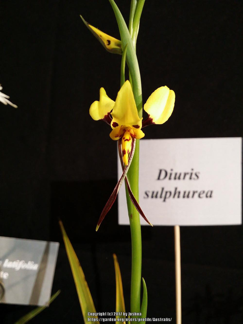 Photo of Tiger Orchid (Diuris sulphurea) uploaded by Australis