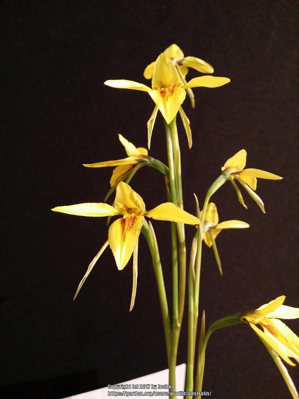 Photo of Orchid (Diuris chryseopsis) uploaded by Australis