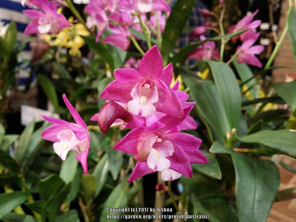 Photo of Orchid (Dendrobium Jonathan's Glory 'Margaret') uploaded by Australis