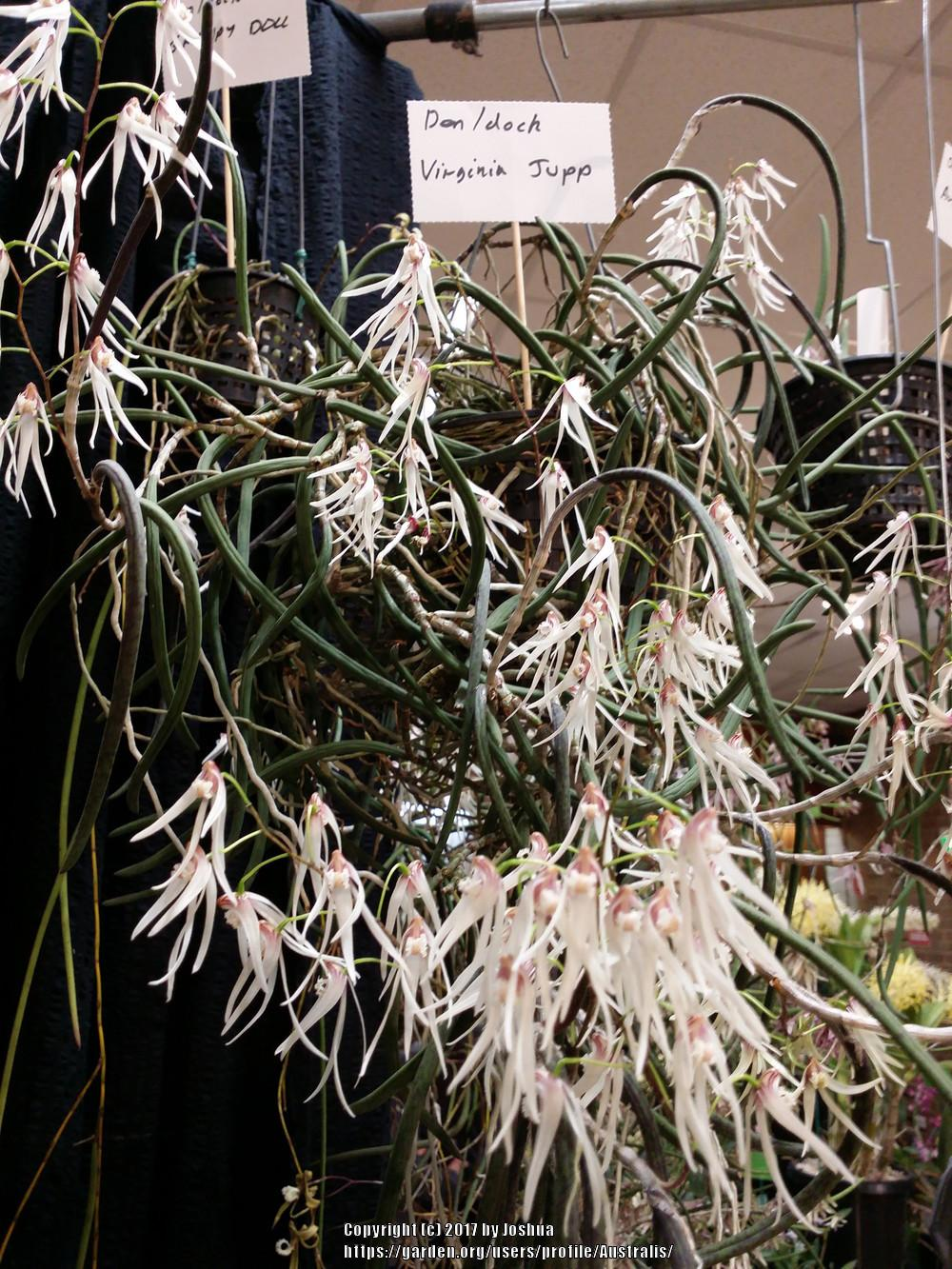 Photo of Orchid (Dendrobium Virginia Jupp) uploaded by Australis