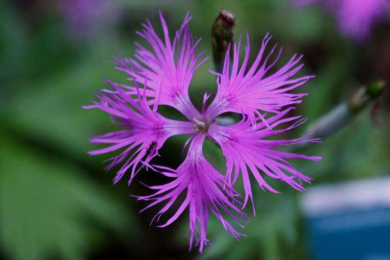 Dianthus Plant Care And Collection Of Varieties Garden