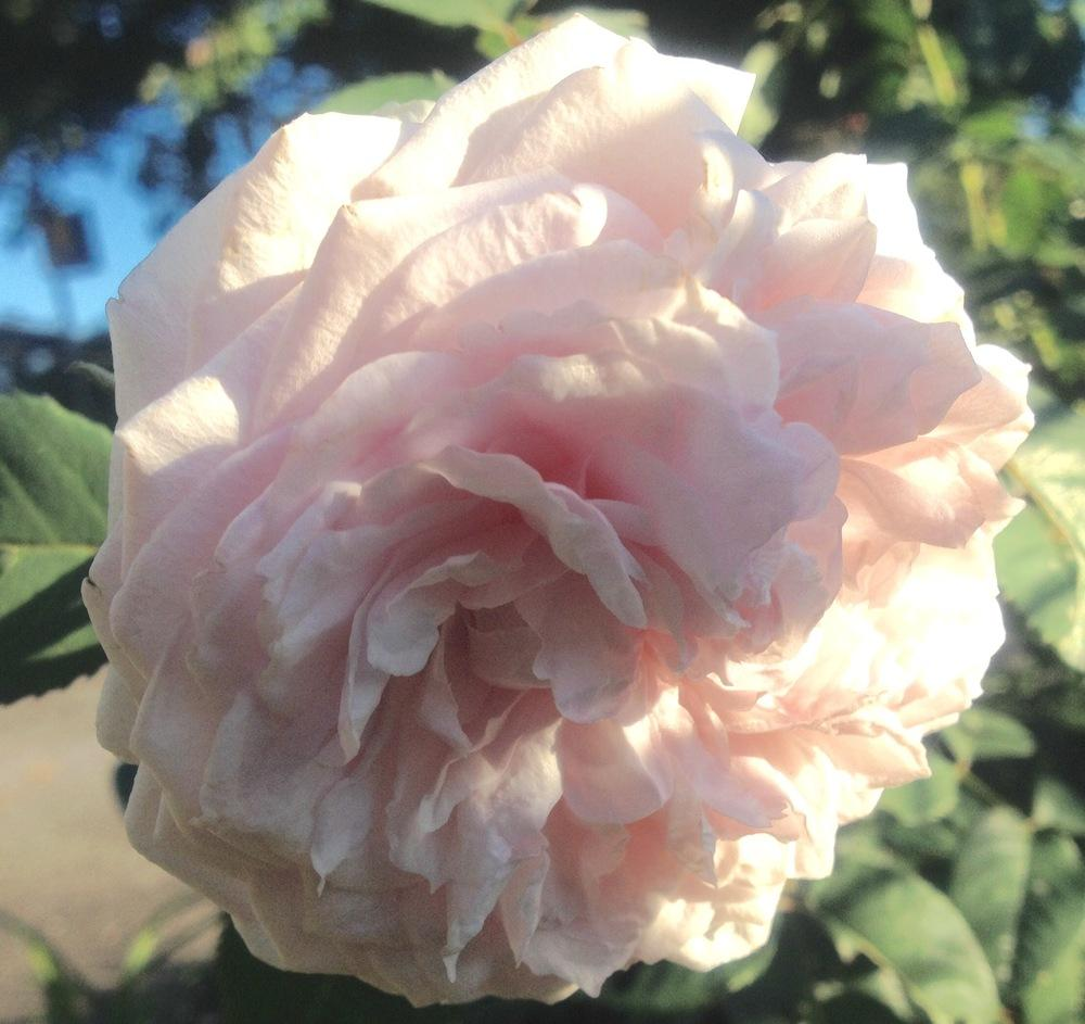 Photo of Rose (Rosa 'Olivia Rose Austin') uploaded by csandt