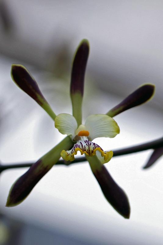 Photo of Orchid (Encyclia alata) uploaded by RuuddeBlock
