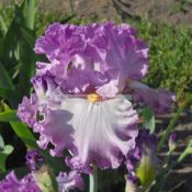 Location: Beaumont Ridge Iris GardensDate: May 12 -- 2014