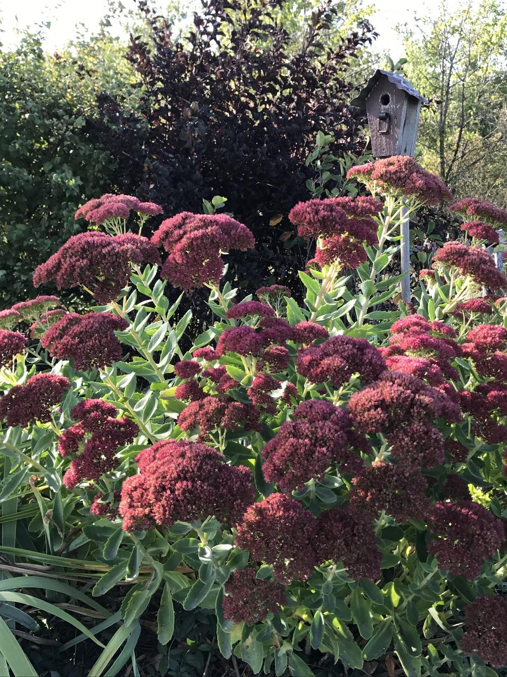 Photo of Sedum (Hylotelephium spectabile 'Herbstfreude') uploaded by Legalily