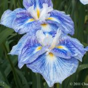 Location: Washougal, WADate: 2011-11-21Photo courtesy of Mt. Pleasant Iris Farm, posted with p