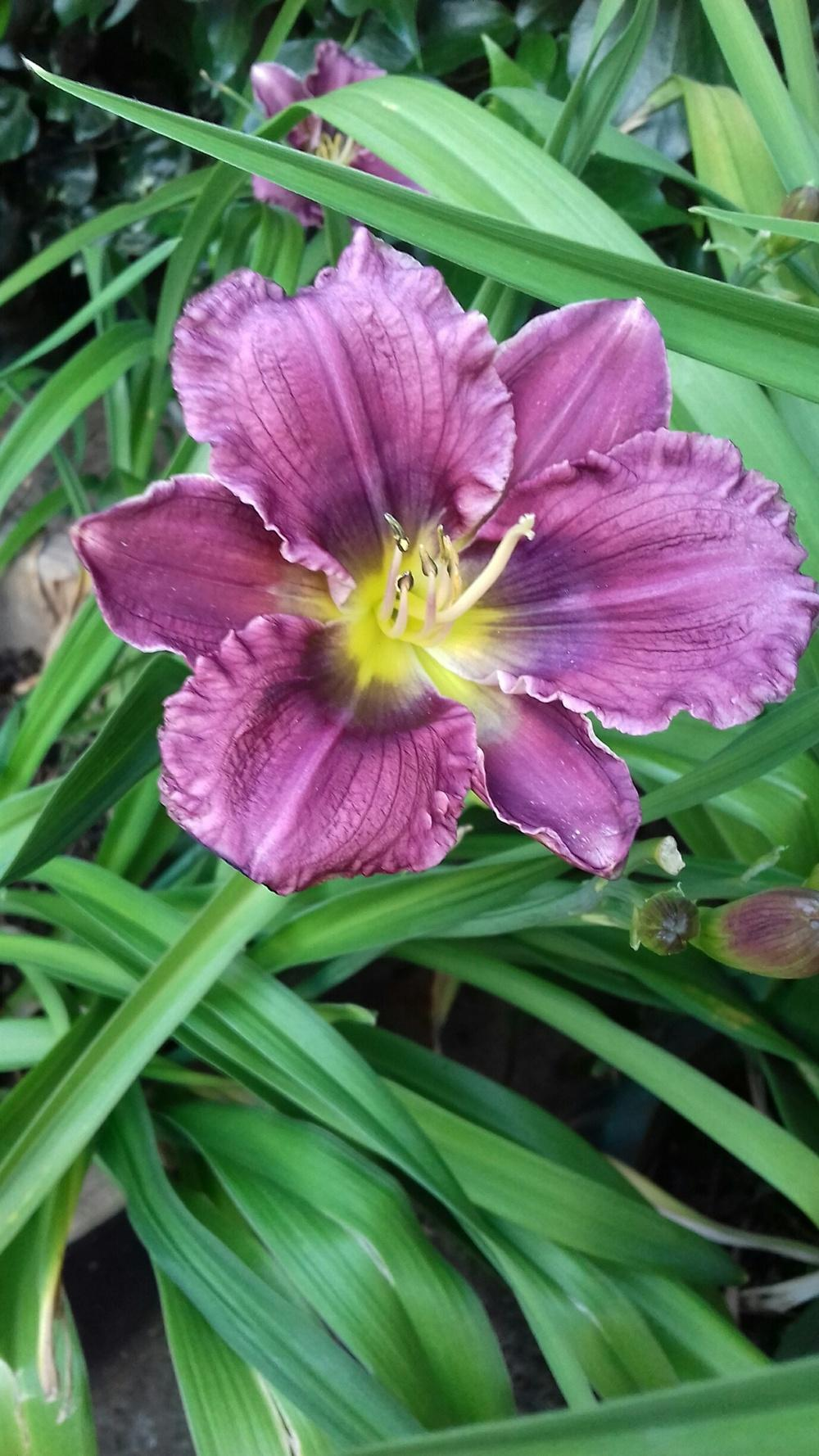 Photo of Daylily (Hemerocallis 'Honky Tonk Blues') uploaded by Scatterbrain