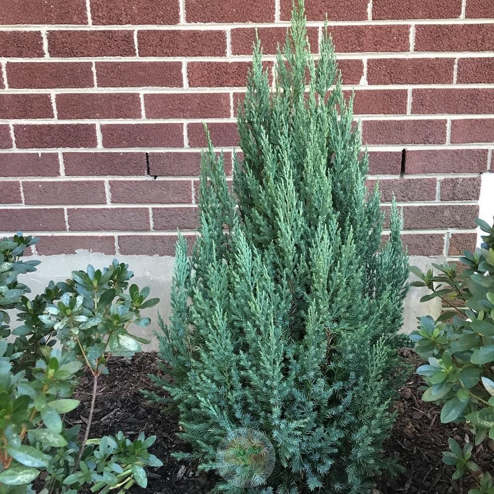Photo of the entire plant of Chinese Juniper (Juniperus chinensis