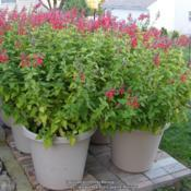 Location: My garden in Northern KYDate: 2011-10-06Six 20-inch containers of Lady in Red. Three containers