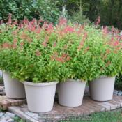 Location: My garden in Northern KYDate: 2011-10-24Six 20-inch containers of Lady in Red.  Three container