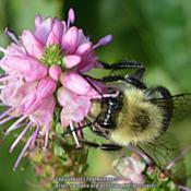 Location: My backyard in Allentown, PADate: 3 October 2017One of the many bumblebees visiting the reblooming 'Fir