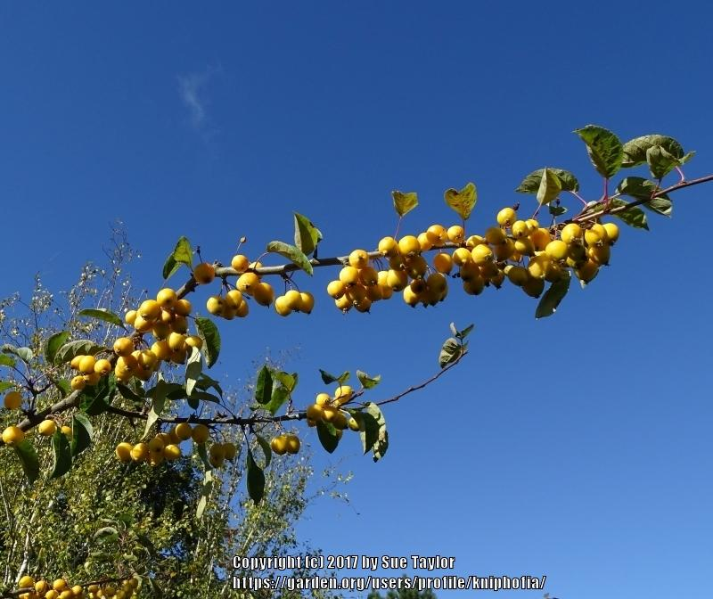 Photo of Apple (Malus 'Golden Hornet') uploaded by kniphofia