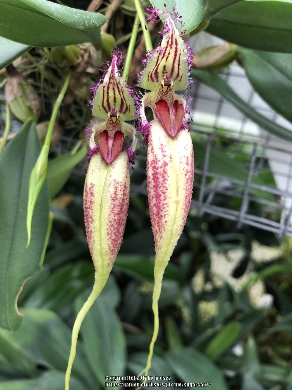 Photo of Orchid (Bulbophyllum fascinator) uploaded by sugarcane