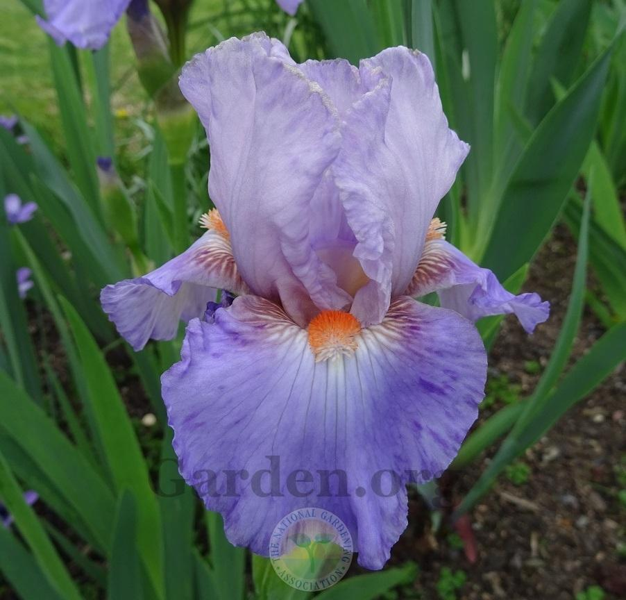 Photo of Intermediate Bearded Iris (Iris 'Lissom') uploaded by Totally_Amazing