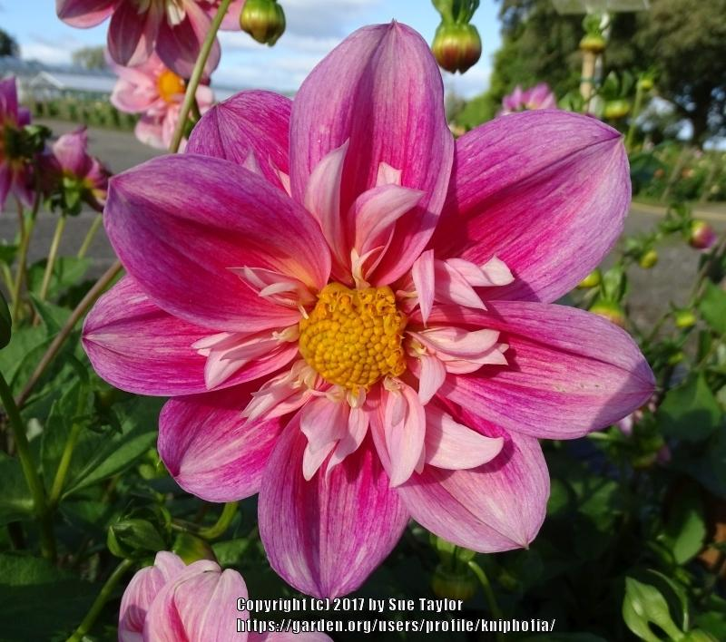 Photo of Dahlia 'Edith Jones' uploaded by kniphofia
