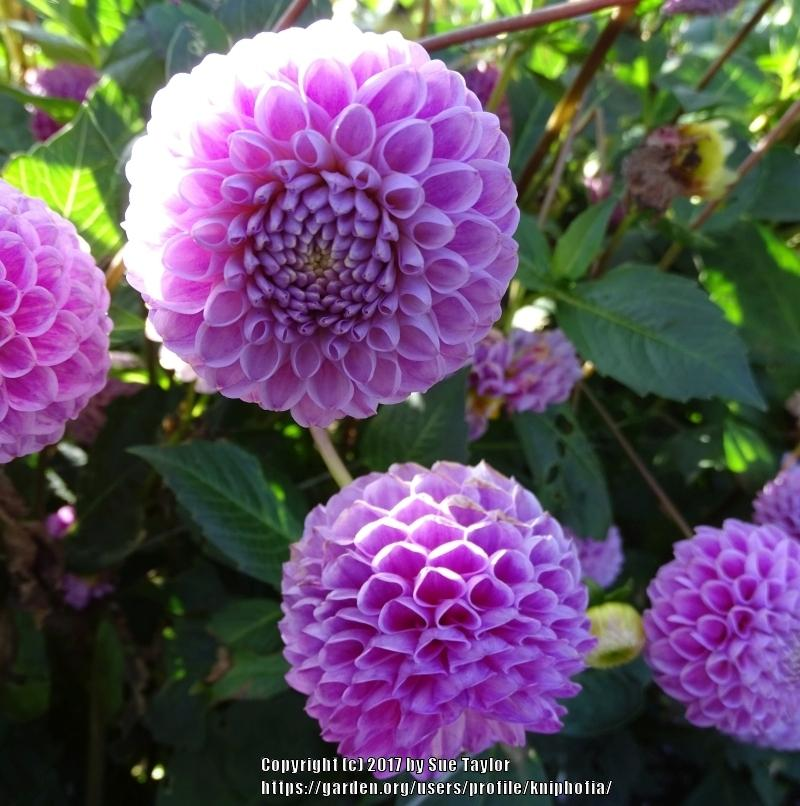 Photo of Dahlia 'Franz Kafka' uploaded by kniphofia