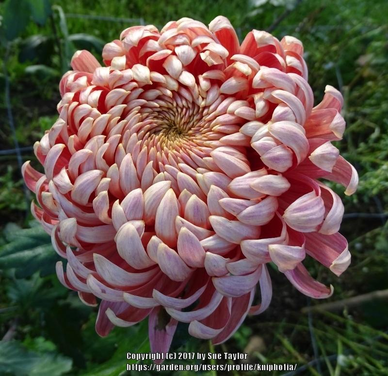 Photo of Chrysanthemum 'Salmon Allouise' uploaded by kniphofia
