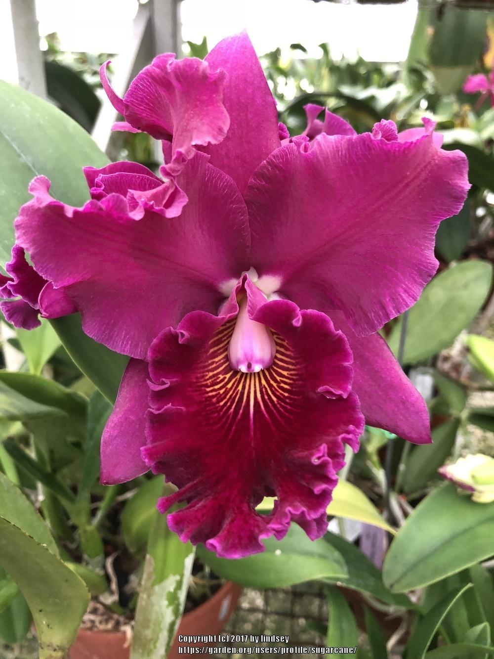 Photo of Orchid (Cattleya Pirate King 'Port Wine') uploaded by sugarcane