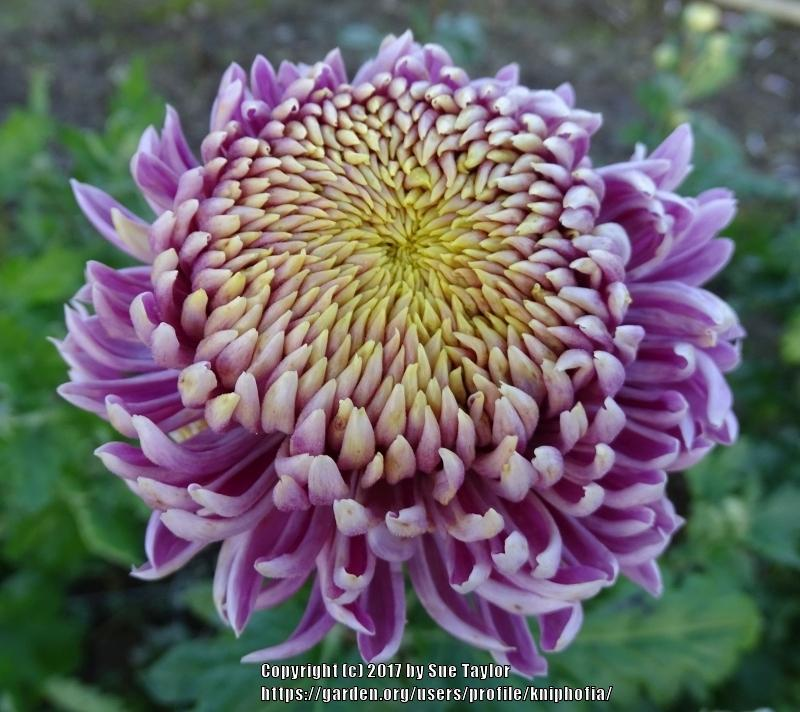Photo of Chrysanthemum 'Music' uploaded by kniphofia