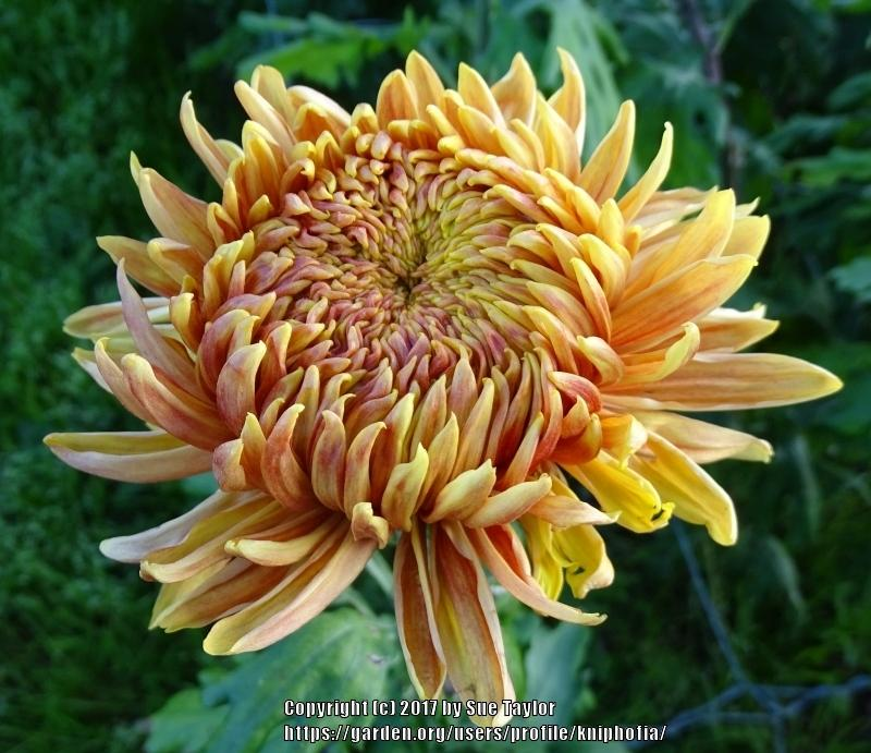 Photo of Chrysanthemum 'Doris Ozall' uploaded by kniphofia