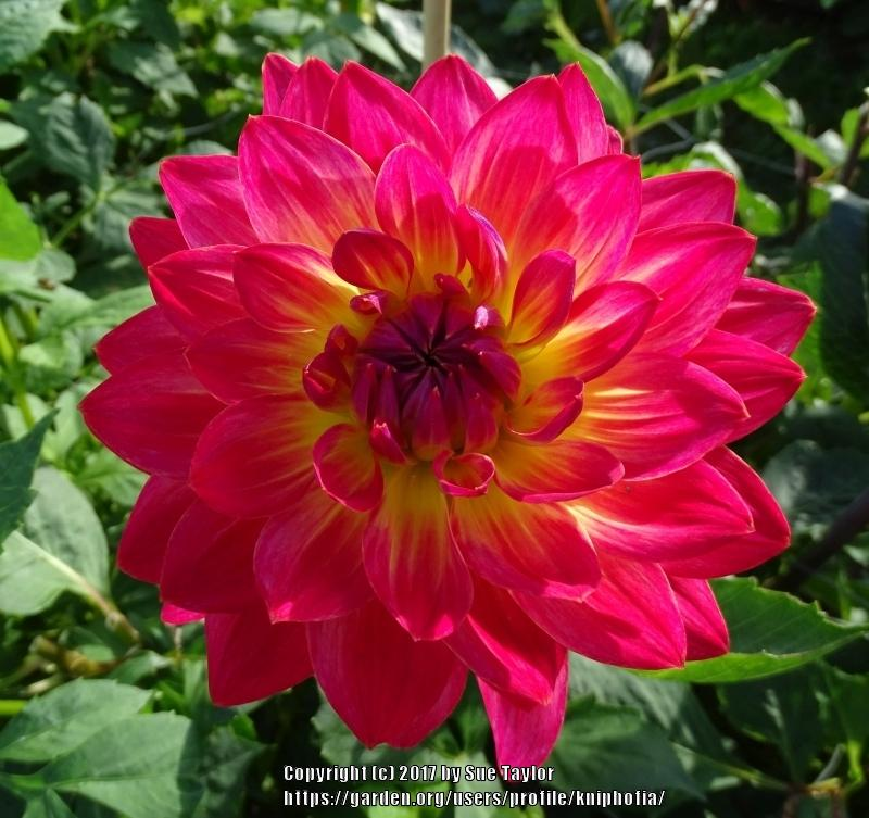 Photo of Dahlia 'Kilburn Glow' uploaded by kniphofia
