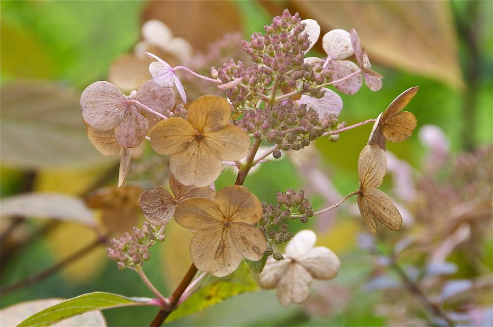 Photo of Late Panicle Hydrangea (Hydrangea paniculata Quick Fire®) uploaded by Fleur569
