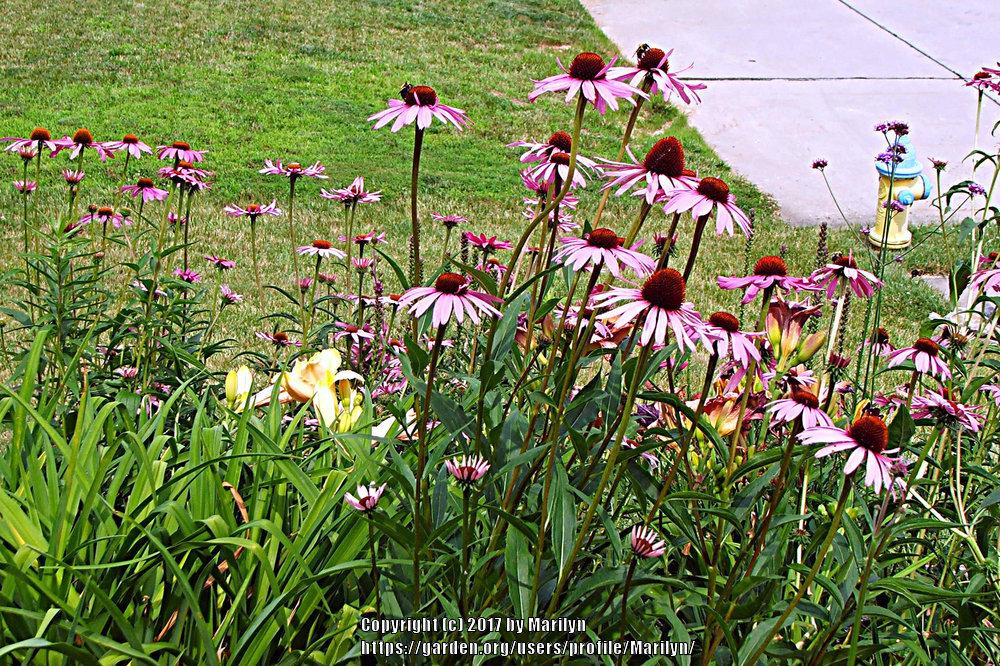 Photo of Coneflowers (Echinacea) uploaded by Marilyn