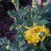 "Location: Clinton, Michigan 49236Date: 2017-10-11""Chrysanthemum 'Gold Country', 2017, Football [Mum] #ch"