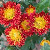 "Location: Clinton, Michigan 49236Date: 2017-10-11""Chrysanthemum 'Fire Glow', 2017, [Mum] #chrysanthemum"
