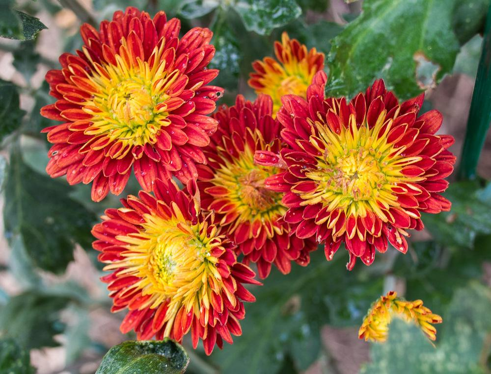 Photo of Cushion Mum (Chrysanthemum 'Fire Glow') uploaded by frankrichards16