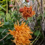 "Location: Clinton, Michigan 49236Date: 2017-10-11""Chrysanthemum 'Cheerleader', 2017, Football Series Int"