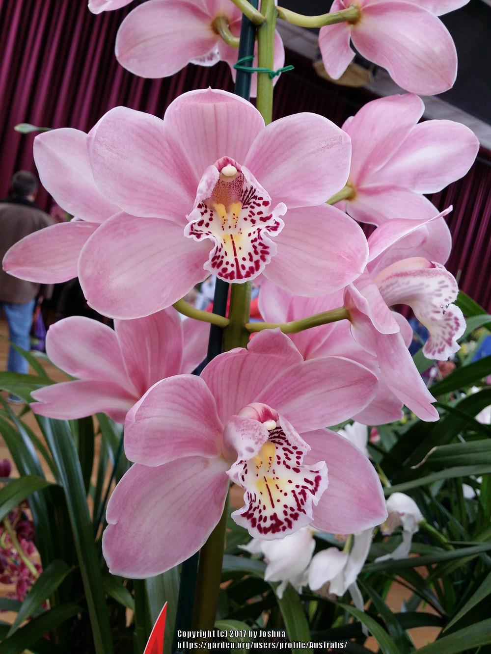 Photo of Orchid (Cymbidium Julie Hawkes 'Sim') uploaded by Australis
