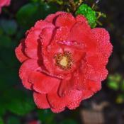 Location: Botanical Gardens of the State of Georgia...Athens, GaDate: 2017-10-12Coral Drift Rose 005