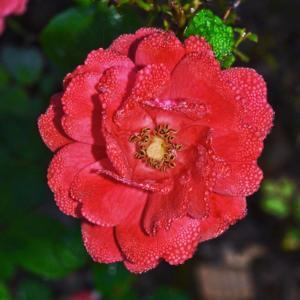 Coral Drift Rose 005