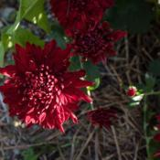 "Location: Clinton, Michigan 49236Date: 2017-10-12""Chrysanthemum 'Maroon Pride', 2017, Hardy Garden [Mum]"