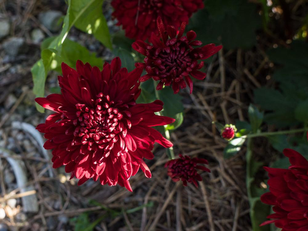 Photo of Garden Mum (Chrysanthemum 'Maroon Pride') uploaded by frankrichards16