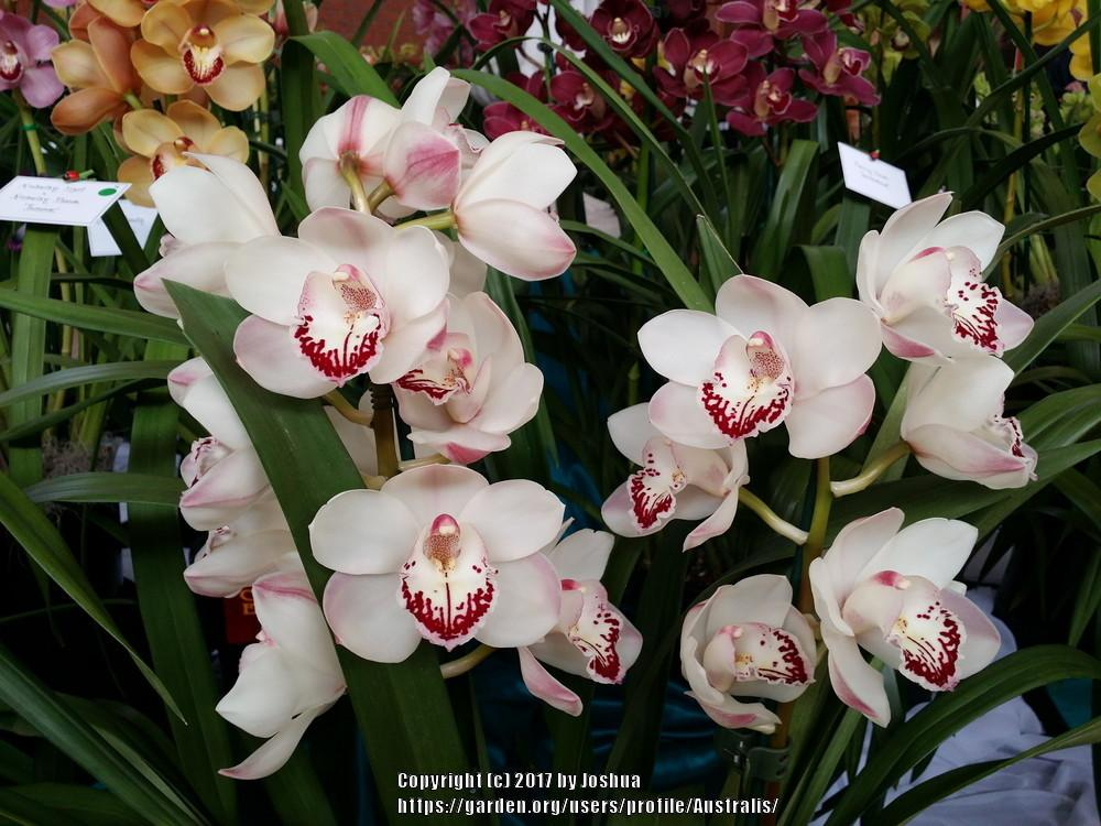 Photo of Orchid (Cymbidium Zenera 'Elizabeth') uploaded by Australis