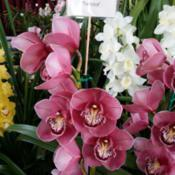 Location: Cymbidium Orchid Society of Victoria Spring Show, Melbourne, Victoria, AustraliaDate: 2017-09-09Part of Colin & Karen Gillespie's display.