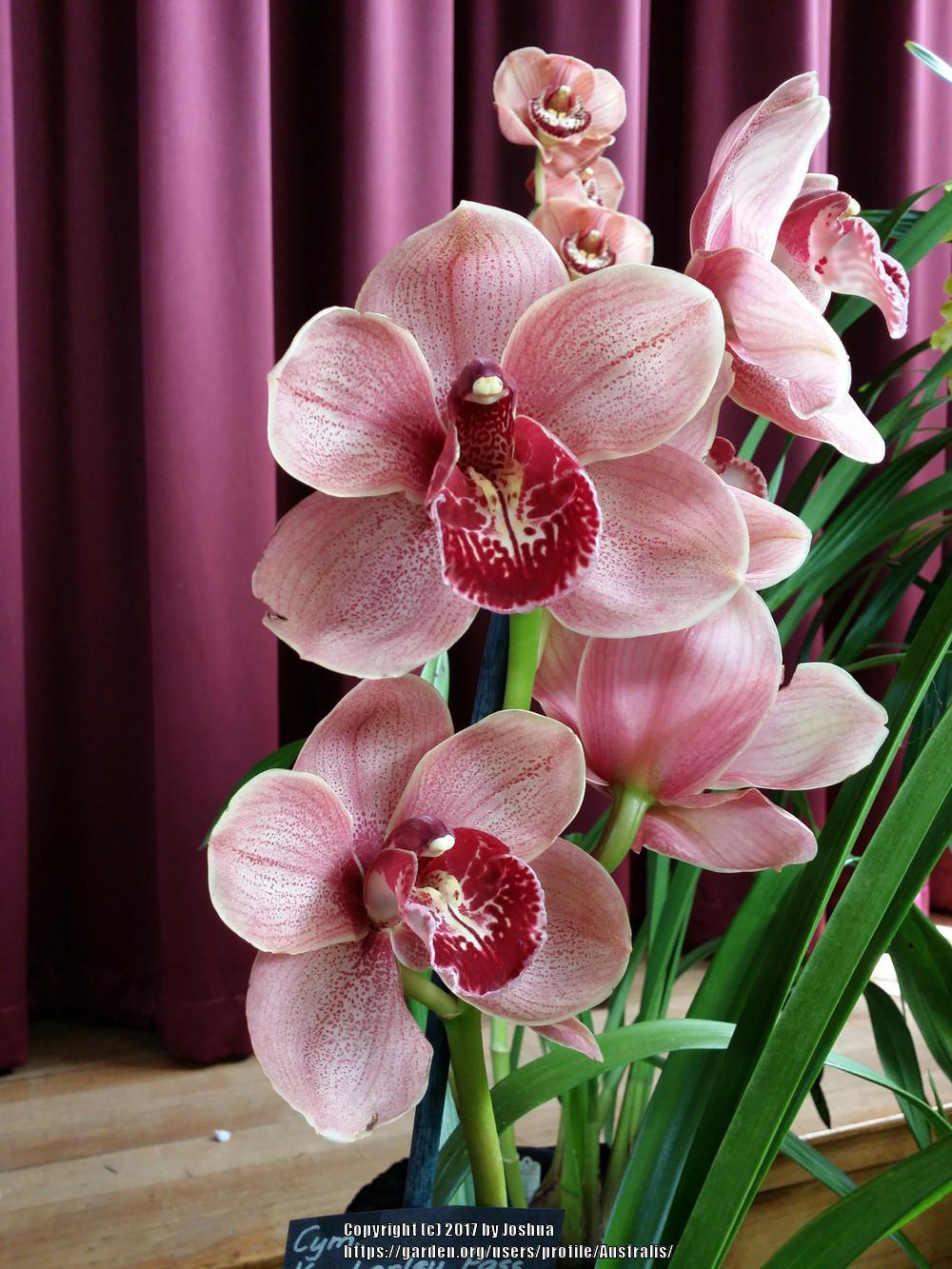 Photo of Orchid (Cymbidium Kimberley Pass 'Victoria') uploaded by Australis