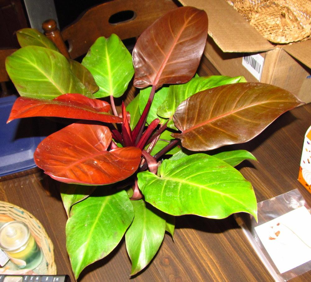 Photo of Philodendron 'McColley's Finale' uploaded by jmorth