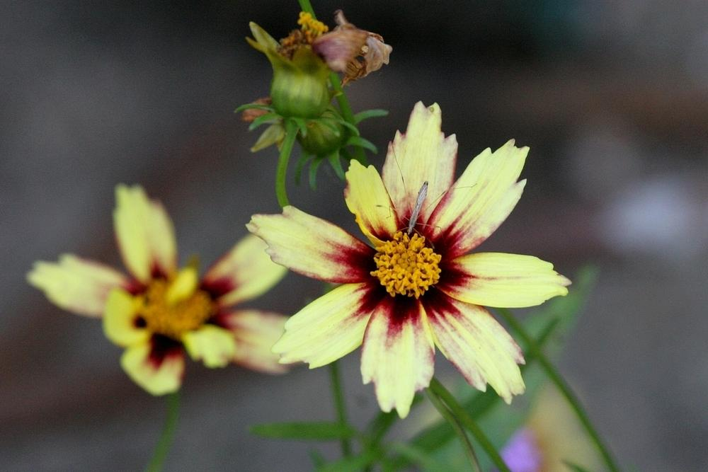 Photo of Tickseed (Coreopsis Big Bang™ Redshift) uploaded by krobra