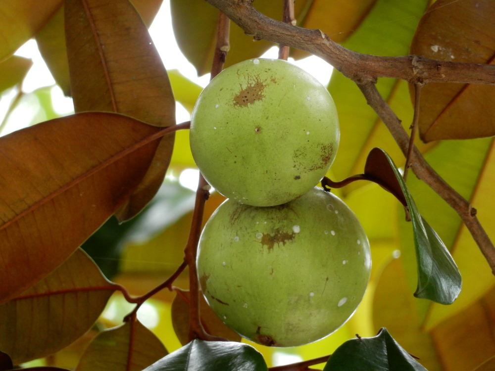 Photo of Star apple (Chrysophyllum cainito) uploaded by tofitropic