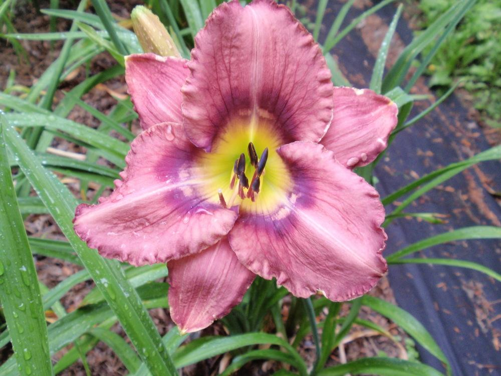 Photo of Daylily (Hemerocallis 'Plato's Puzzle') uploaded by Bedmaker