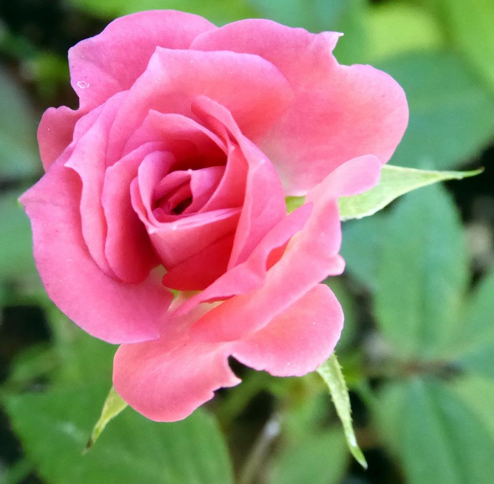 Photo of Rose (Rosa 'Judy Fischer') uploaded by JulieB